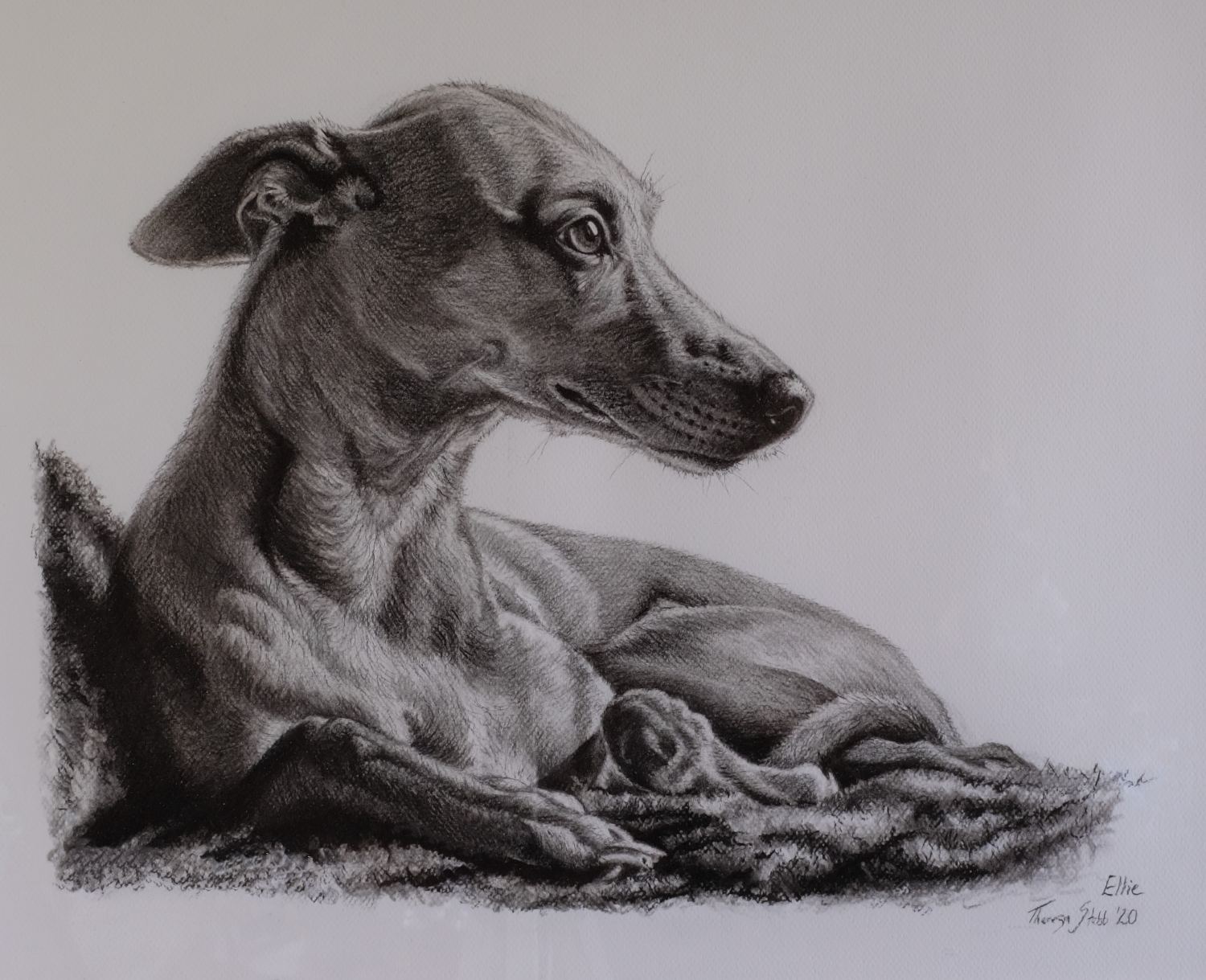 Ellie the Whippet, Charcoal on paper, 2020.